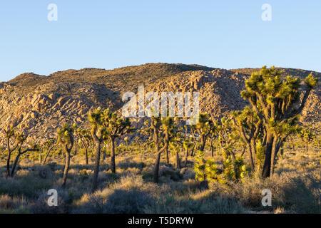Forest of Joshua trees in the desert landscape of Joshua Tree National Park, California