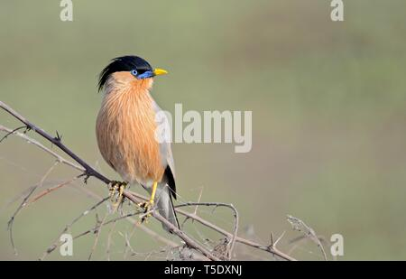 Musical call of Brahminy Starling / Brahminy Myna Stock Photo