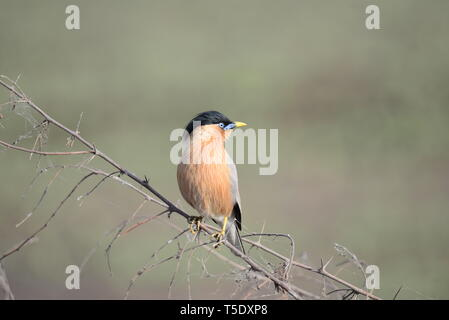 Musical call of Brahminy Starling / Brahminy Myna - Stock Photo