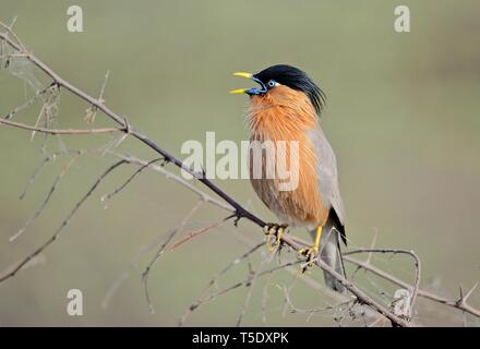 Musical call of Brahminy Starling / Brahminy Myna Stock Photo
