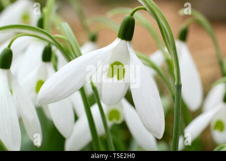 Galanthus 'Bill Bishop'. Large flowers of Bill Bishop snowdrop  - February, UK. Also called Galanthus Mighty Atom. - Stock Photo