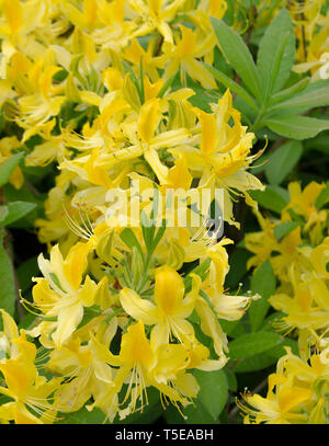 Rhododendron Luteum aka Yellow Azalea or Honeysuckle Azalea - Stock Photo