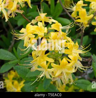 Rhododendron Luteum aka Yellow Azalea or Honeysuckle Azalea - Stock Photo