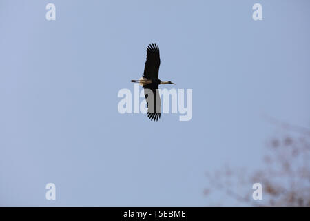 white necked stork, sasan gir, Gujarat, India, Asia - Stock Photo