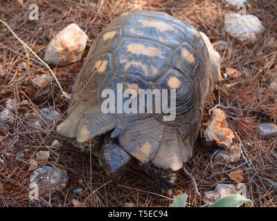 Marginated tortoise, Testudo marginata, found in a pine forest habitat in southern Greece - Stock Photo