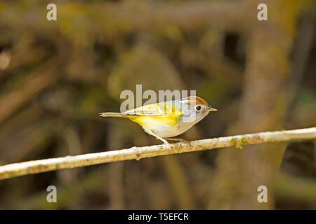 Chestnut-crowned warbler, Phylloscopus castaniceps, Eastern Himalaya, Lava, India. - Stock Photo