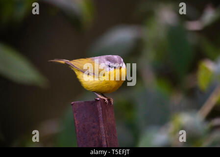 Grey-hooded warbler, Phylloscopus xanthoschistos, Sattal, Uttarakhand, India. - Stock Photo
