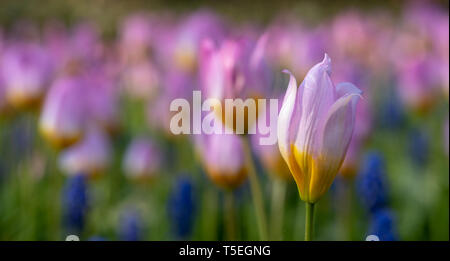 Tulips in vivid colours on display at Keukenhof Gardens, Lisse, South Holland, Netherlands. Keukenhof is known as the Garden of Europe. - Stock Photo
