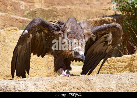 Closeup of griffon vulture (Gyps fulvus) open wings on ground seen from front - Stock Photo