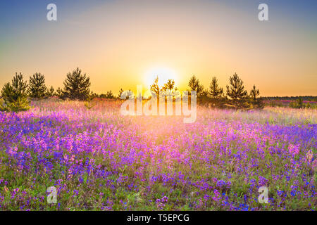 beautiful spring landscape with  flowering purple flowers on meadow and sunrise. wildflowers blooming on summer field. wild scenery with sunset wonder - Stock Photo
