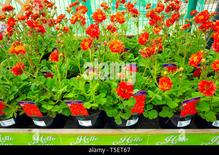 Garden centre display of young flower plants in early spring,  Geum Scarlet Tempest for sale as bedding plants for planting. - Stock Photo