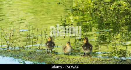 three little ducks in a shore of a lake with sunlight of evening - Stock Photo