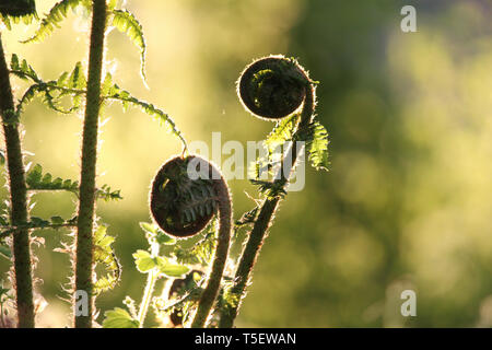 A low evening sun back lights new unfurling bracken fronds in spring. Also known as Pteridium aquilinum. - Stock Photo