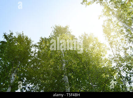 Sunlight shines through the crown of tall trees against the blue sky on a Sunny summer day. - Stock Photo