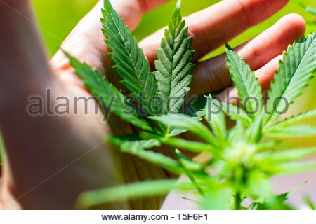 Cannabis, also known as marijuana among other names, is a