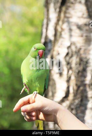 Feeding the ring-neck parakeets in St James's Park is very popular, in central London, UK - Stock Photo