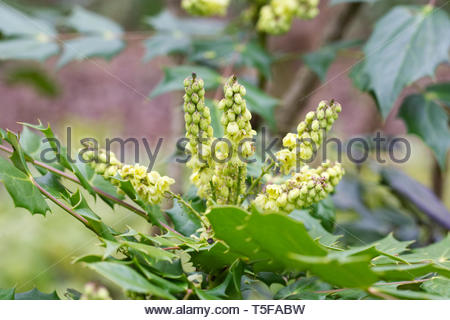 Mahonia japonica 'Bealei group' flowers. - Stock Photo