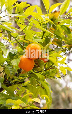 close up of oranges hanging from tree in El Palmera park, Alicante Spain - Stock Photo