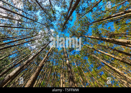 Japanese cypress forest Cryptomera Japonica dynamic view from below, Kumano Kodo forest in Japan - Stock Photo