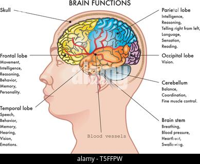 Chart vector illustration of a human head in profile showing the functions of the brain, isolated on a white background. - Stock Photo