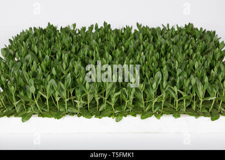 Lisianthus (Eustoma Grandiflorum) seedlings plants for professional cut flowers production in greenhouse - Stock Photo