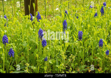 Purple muscari flowers in north east Italy in early spring, also known as grape hyacinth or bluebells in the US. They are growing amongst Brassica Jun - Stock Photo
