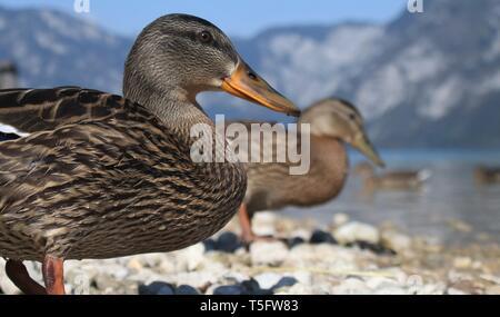 Wide angle portrait of eclipse plumage Mallard Ducks (Anas Platyrhynchos) on the shores of Lake Bohinj, Slovenia. August 2018 - Stock Photo