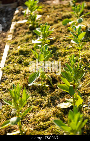 Allotment gardening in the UK. A mulch of fresh green grass clippings used around newly planted broad bean plants in a raised bed to help retain moisture in the soil, suppress weeds and reduce attacks by slugs - Stock Photo