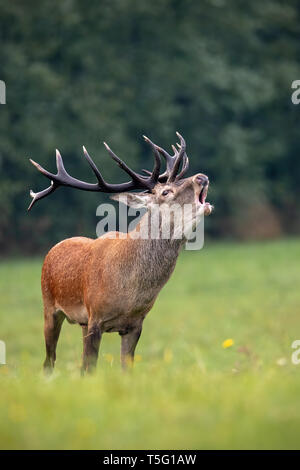 Bellowing red deer stag with huge dark antlers in rutting season - Stock Photo