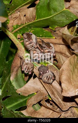 Roost of Tent-making Bats, Uroderma bilobatum, Manuel Antonio, Central Pacific region, Costa Rica, Central America - Stock Photo