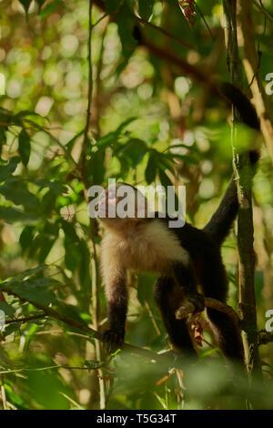 White-faced Capuchin monkey, Cebus imitator, Manuel Antonio National Park, Central Pacific province, Costa Rica, Central America