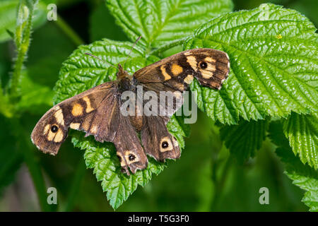 Speckled wood (Pararge aegeria) butterfly with severely damaged wings resting on leaf - Stock Photo