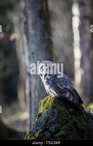 Bartkauz, Strix nebulosa, great grey owl - Stock Photo