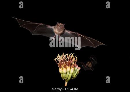 North America; United States; Arizona; Widlife; Night; Nectar-feeder; Lesser Long-nosed Bat; Leptonycteris curasoae; Lesser Short-nosed Bat; Cynopteru - Stock Photo