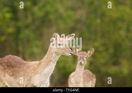 Young Fallow deer in the ancient Dartington Deer Park near Totnes in Devon - Stock Photo