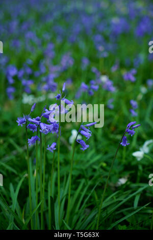 Close up of Bluebells. - Stock Photo