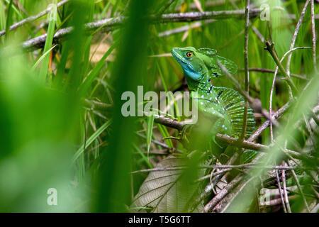 Plumed basilisk (Basiliscus plumifrons) camouflaged in grasses - La Laguna del Lagarto Eco-Lodge, Boca Tapada, Costa Rica - Stock Photo