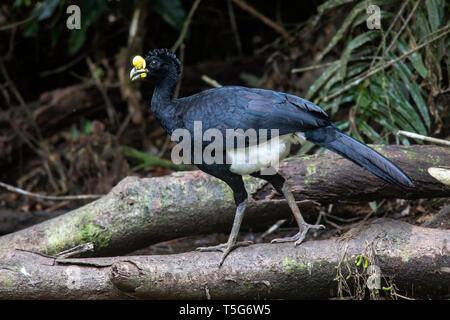 Great Curassow (Crax rubra) Male - La Laguna del Lagarto Eco-Lodge, Boca Tapada, Costa Rica - Stock Photo