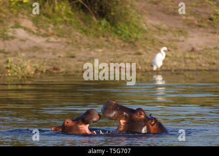 Closeup of two hippos, Hippopotamus amphibius, facing each other with open mouths in the water - Stock Photo