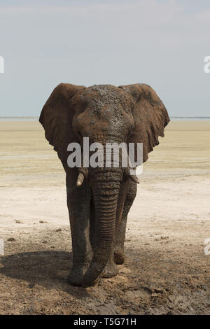 Portrait of Kalahari African elephant adapted to desert living in Namibia - Stock Photo