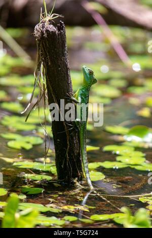 Juvenile Plumed basilisk (Basiliscus plumifrons) - La Laguna del Lagarto Eco-Lodge, Boca Tapada, Costa Rica - Stock Photo