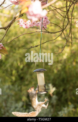 Stirlingshire, Scotland, UK. 25th Apr, 2019. a usually sure footed grey squirrel almost takes a tumble from a bird feeder hanging from a tree in a Stirlingshire garden but just manages to cling on and save itself. The long slippery hanger proved a challenge but it returned for another attempt once the feeder had been restocked. This time it was successful, and almost looked pleased with itself! Credit: Kay Roxby/Alamy Live News - Stock Photo