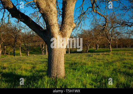 Oak woodland, Sacramento River Bend Area of Critical Environmental Concern, California - Stock Photo