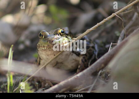 Northern Leopard Frog Rana pipiens close up. - Stock Photo