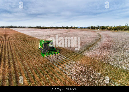 Straight rows of cotton plants with blossoming white boxes harvested by green industrial tractor under blue sky in elevated perspective view on a farm - Stock Photo