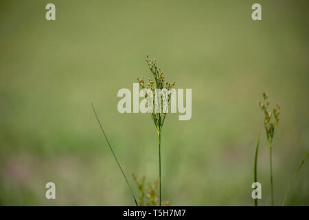 Close up of a weed growing in a meadow - Stock Photo