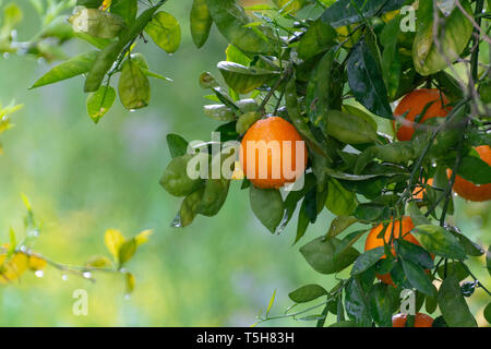 Orange citrus fruit plantations on Peloponnese, Greece, new harvest of sweet juicy oranges - Stock Photo