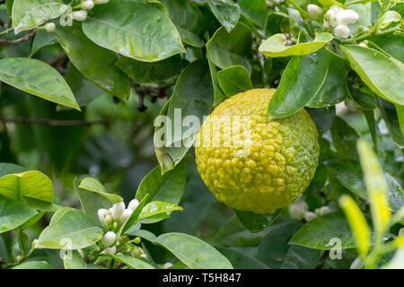 Citrus fruits of sour orange bergamot riping on  thee close up - Stock Photo