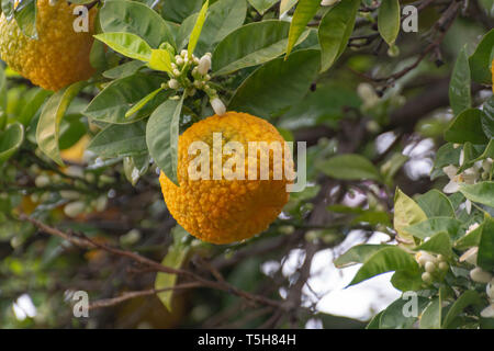 Citrus fruits of sour orange bergamot riping on blossoming thee close up - Stock Photo