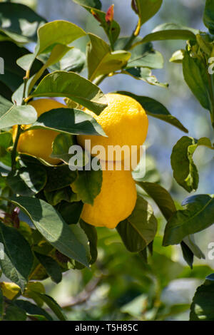 Ripe big yellow lemons, tropical citrus fruits hanging on tree ready to harvest close up - Stock Photo